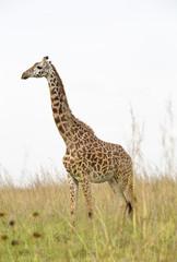 Giraffe in Nairobi National Park in Kenya, Africa