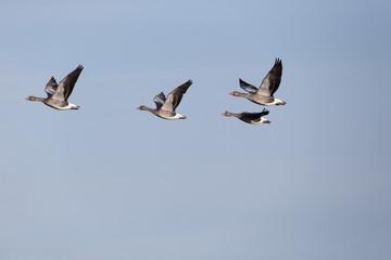 Greylag goose, Anser anser,
