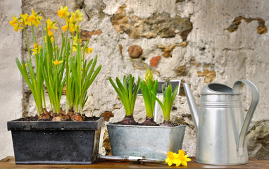 Papiers peints Narcisse pots de narcisses et jacinthes