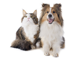 Wall Mural - shetland dog and maine coon cat