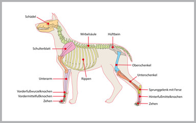 dog skeleton,