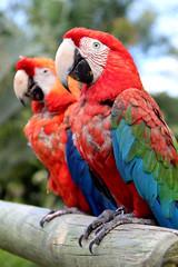 Caribbean parrots