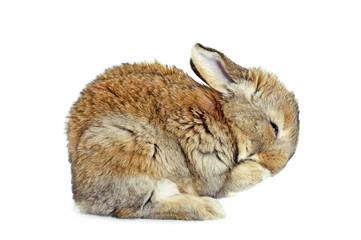 Obraz Młody królik domowy - fototapety do salonu