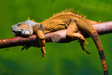 Iguana relaxing on a branch Wall mural