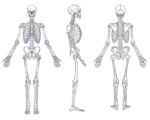 Human Skeleton Anatomy Vector