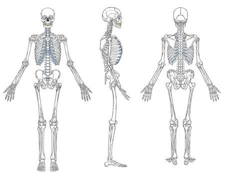 Human Skeleton Anatomy Vector