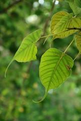 bo tree amazing tree of Asia