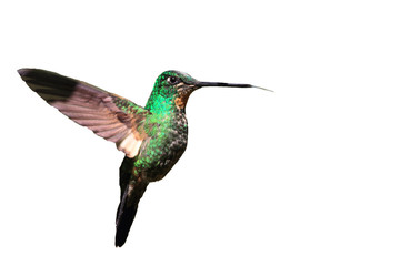 Tyrian Metaltail Hummingbird in Ecuador (White background)