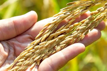Rice harvest in hand