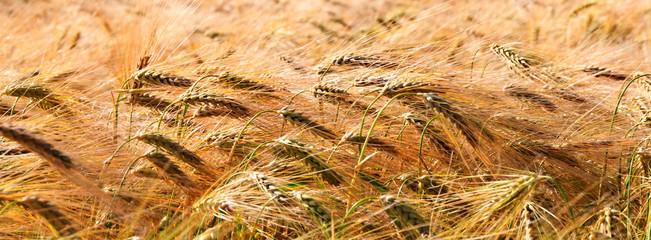 Banner type golden wheat field in wind