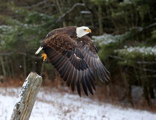 Wall Mural - Bald Eagle Take-off
