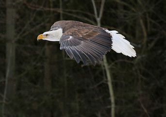 Wall Mural - A Bald Eagle (haliaeetus leucocephalus) gliding past a forest..