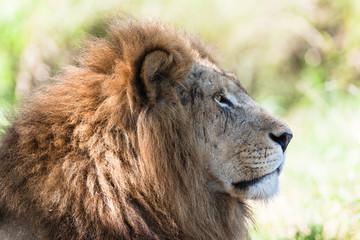 Lion King Stare Wildlife