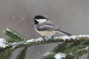 Fotoväggar - Chickadee on a branch with snow