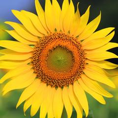 Closeup of beautiful Sunflower