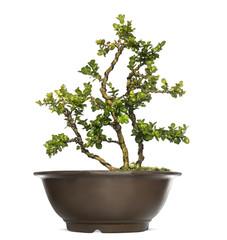 Buxus bonsai tree, isolated on white