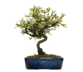 Photo sur Aluminium Bonsai Honeysuckle bonsai tree, Lonicera caprifolium, isolated on white