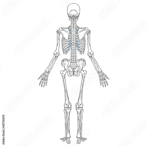 Human Skeleton Back Stock Image And Royalty Free Vector Files On