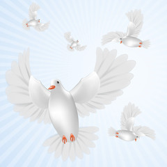 White pigeons isolated