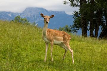 Young fallow-deer