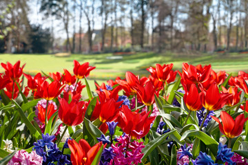 Fototapete - Colorful tulips in the park.