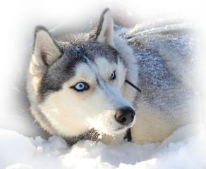 blue-eyed Siberian Husky buried in snow