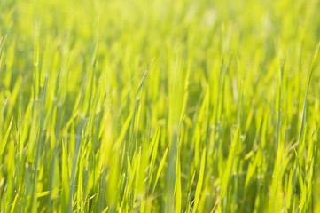 young barley background