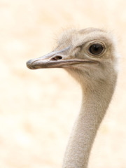 African Common Ostrich Head Shot (Struthio camelus)