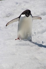 Adelie Penguin, Argentine Islands, Antarctica