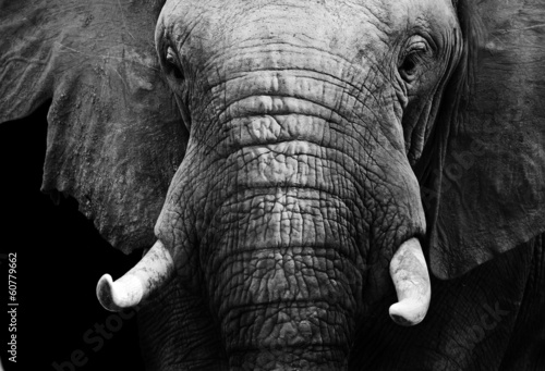 Wall mural African elephant in black and white