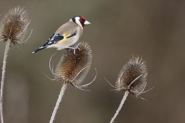 Fotoväggar - Goldfinch, Carduelis carduelis,