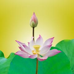 Lotus flower plants in thailand