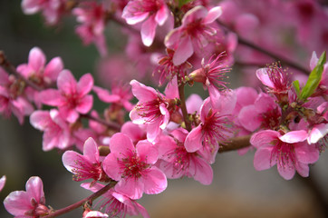 Blooming peach tree in spring with pink flowers