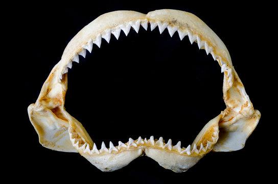 Shark Jaw Bone and sharp shark teeth