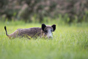 Boar in the clearing.