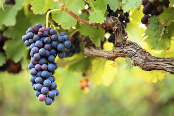 Red wine grapes on old vine, lush green leaves Wall mural