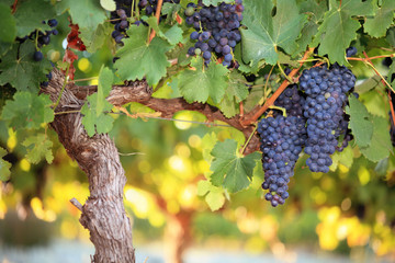 Red wine grapes on old grape vine Wall mural