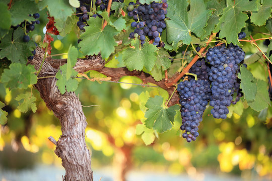 Red wine grapes on old grape vine