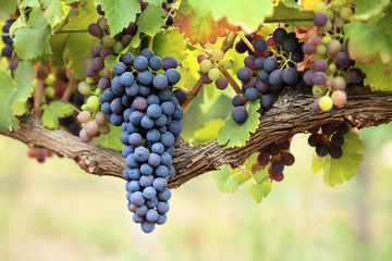 Bunches of red wine grapes on old grape vine Wall mural