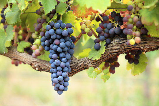 Bunches of red wine grapes on old grape vine