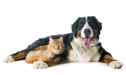 Wall Mural - bernese moutain dog and cat