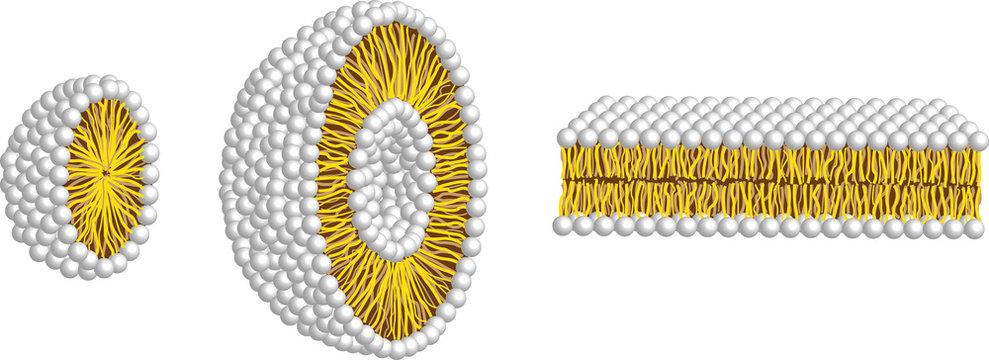 micelle,liposome and double membrane