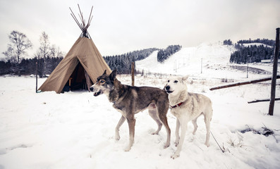 Husky dogs, Central Finland