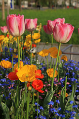 pink tulips and yellow poppies with multicolored garden flowers