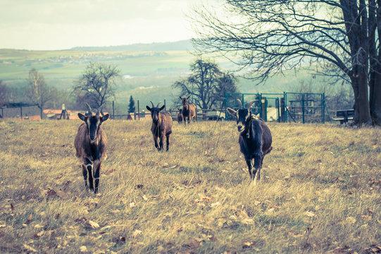 Goats on a farm.  Retro photo