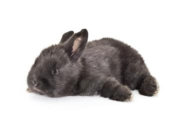 Fototapeta Czarny królik obraz