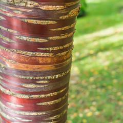 Mahogany Cherry Tree Trunk