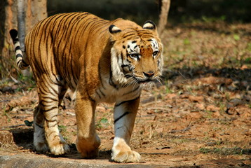 INDIAN ROYAL BENGAL TIGER