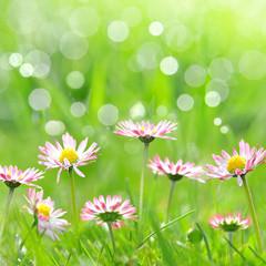 Daisy flowers on meadow