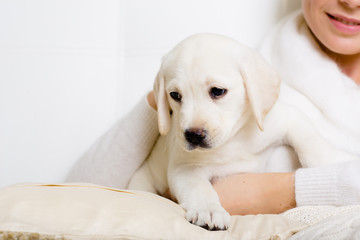 Closeup of white Labrador puppy on the hands of woman